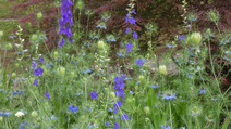 Self-seeder Combinations for a Meadow Style Garden