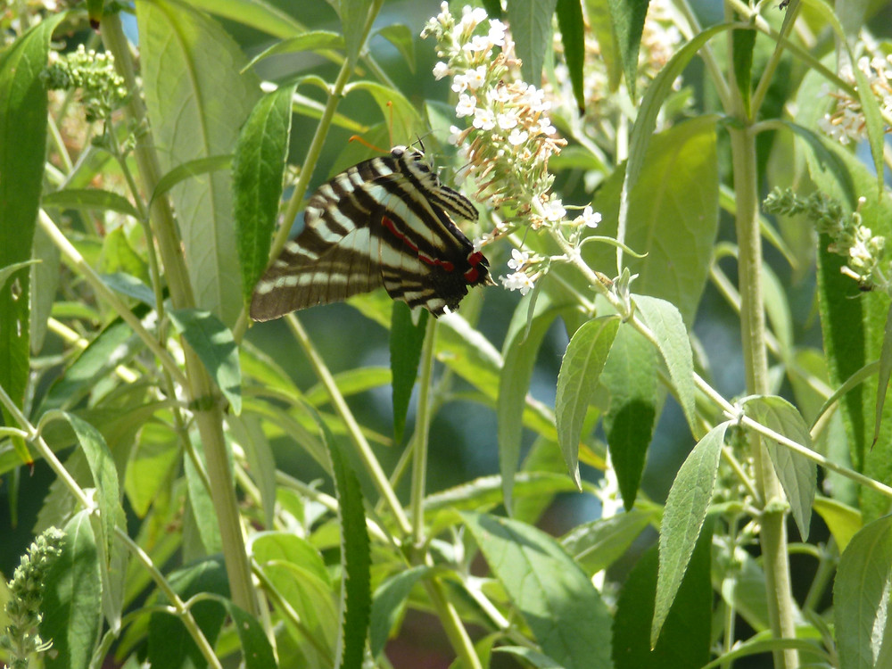 Zebra Swallowtail 7 19 2018