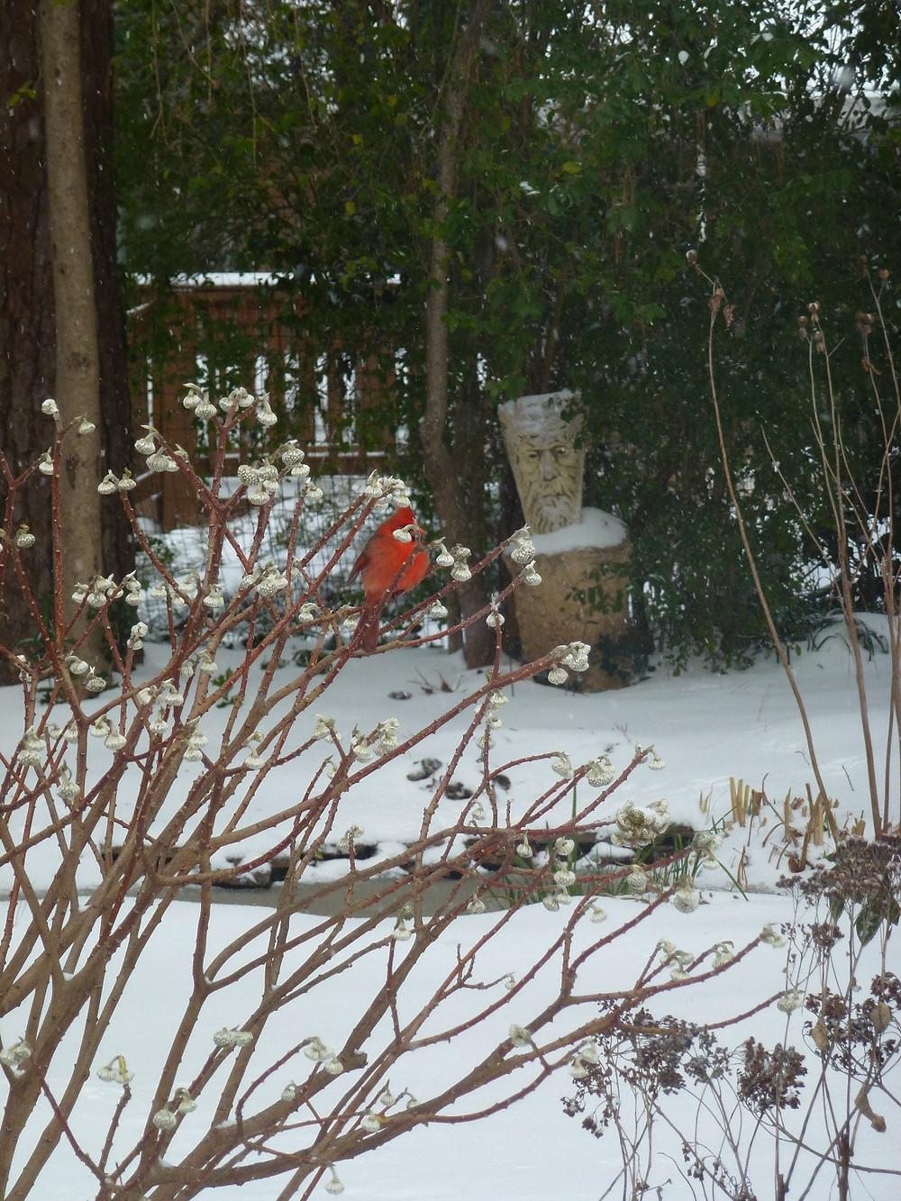 Paper Bush edgeworthia in snow with cardinal