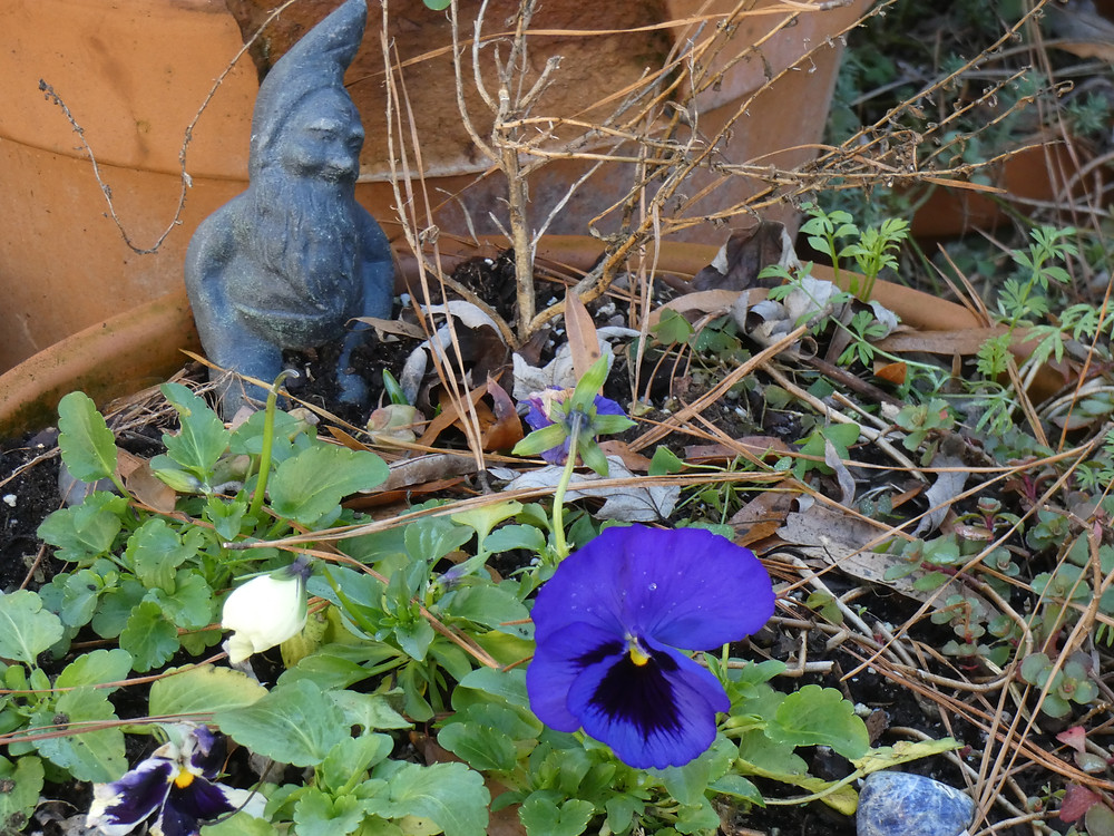 Purple Blue pansy