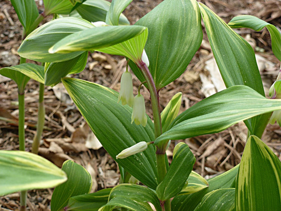 Solomon's Seal for Dry Shade