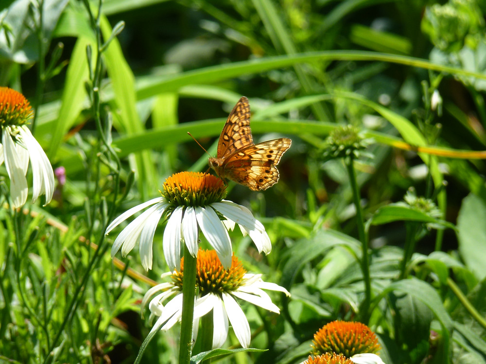 Variegated Fritillary and cone flower