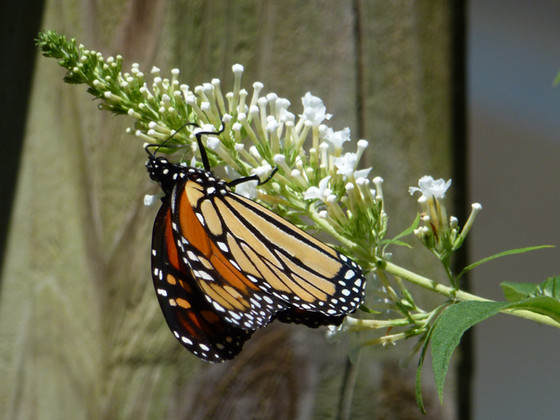 Two Favorites for Pollinators