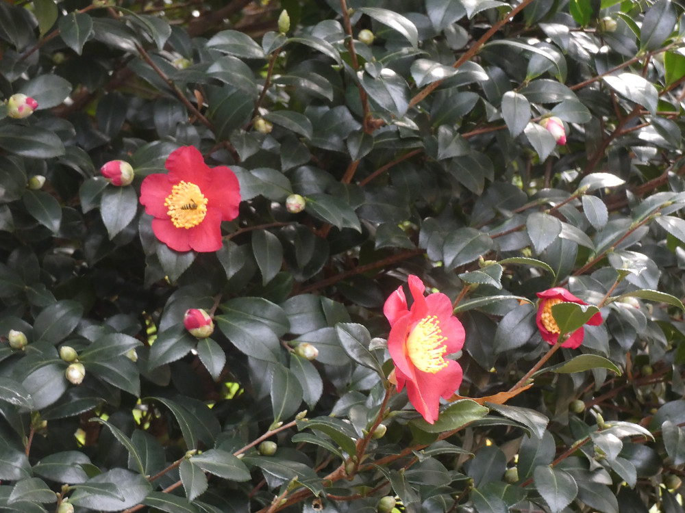Yuletide camellia with bee