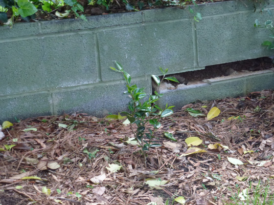 Hiding the cinder block wall with camellias
