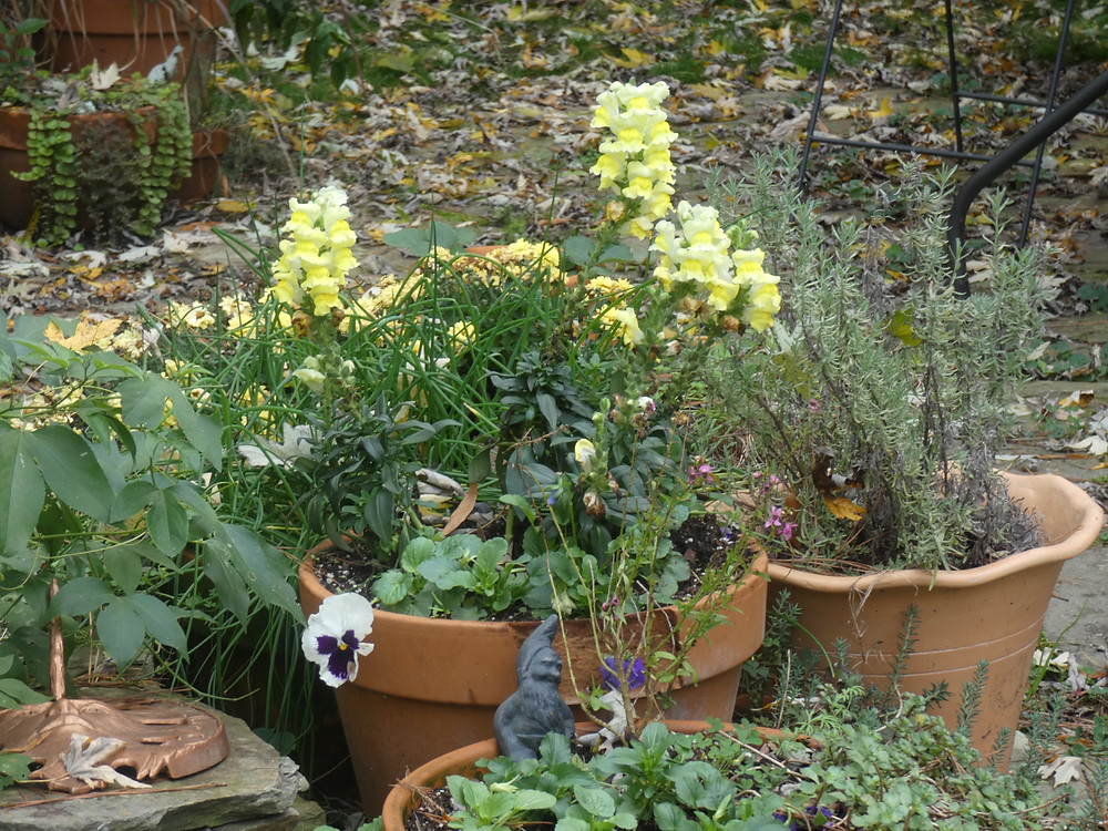 Mild winter is predicted for Southeast- So I've planted snapdragons for color
