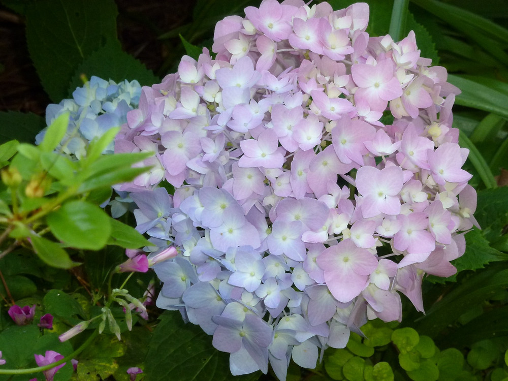 Hydrangea with sweet pea May 2016
