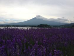 Mt Fuji/Lavendar Festival