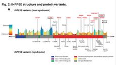 Broadening INPP5E phenotypic spectrum: