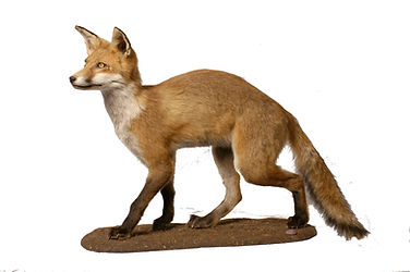 Image of a mounted taxidermy specimen of an european red fox. Its coat is light brown in colour, with a white chest and darker brown feet
