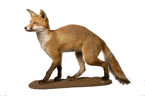An image of a European Red Fox. The fox is standing on all for legs.