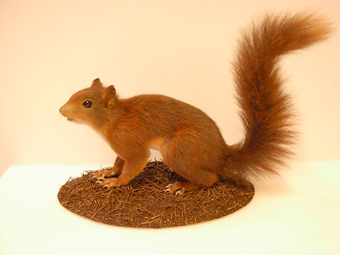 Image of a red squirrel. The red squirrel has large eyes and a long bushy tale. It has long claws. Its coat is a reddy brown colour.