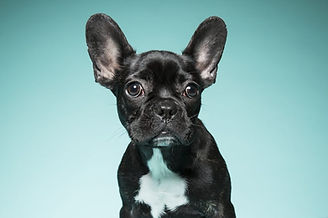 French Bulldog.jpeg