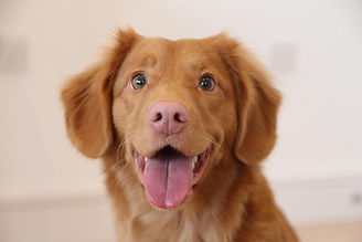 golden-retriever-puppy.jpg