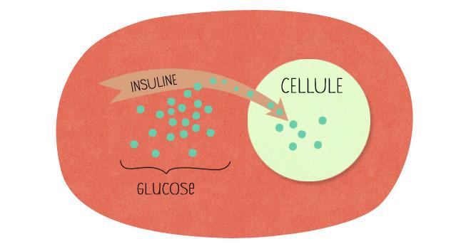 Rôle de l'nsuline - Nutriting.fr.com