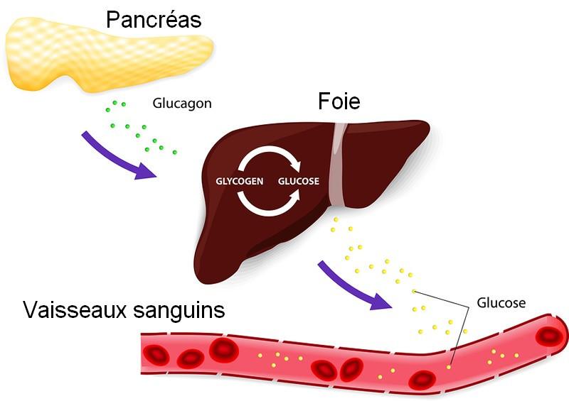 Glucagon, hormone naturelle - Dreamstime