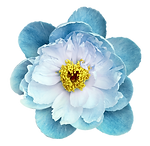 Peony%20flower%20turquoise%20on%20a%20wh