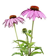 Echinacea is great for colds
