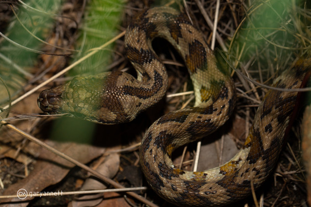 Carpet-Python-Morelia-spilota-variegata-