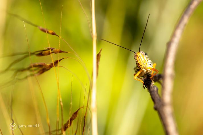 Grasshopper-Kimberley-01.jpg