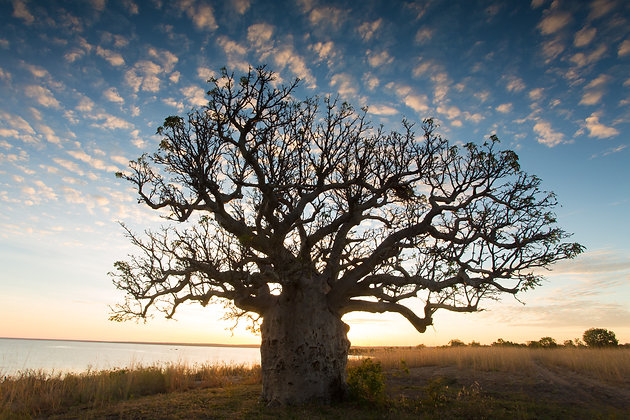 Boab Tree - GA0069