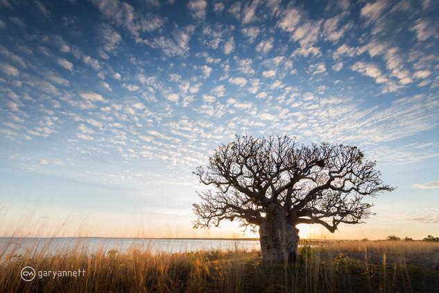 Boab-Tree-Sunrise.jpg