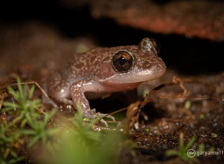 Woodworker Frog...