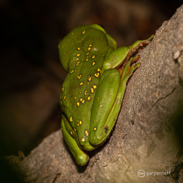 Splendid-Tree-Frog-Kimberley-02.jpg