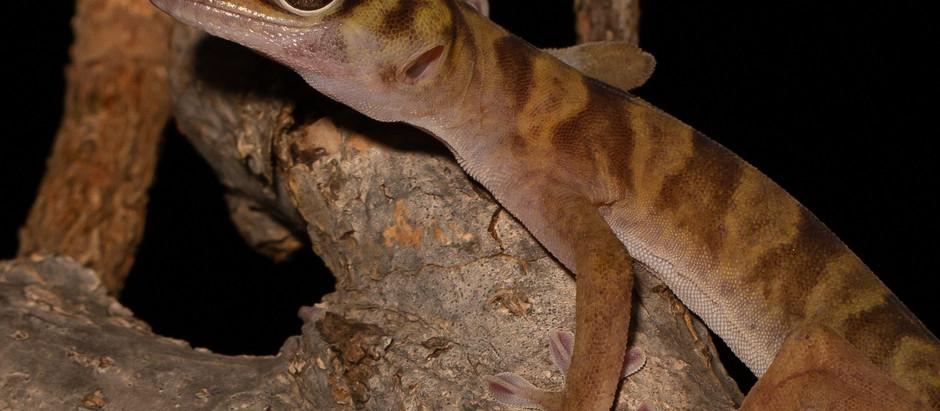 Cave Gecko...