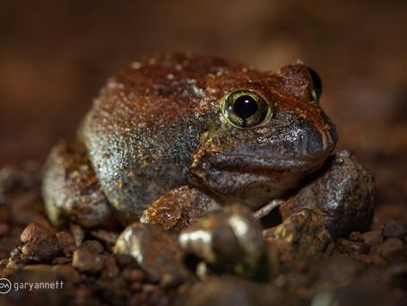 Ornate Burrowing Frog...
