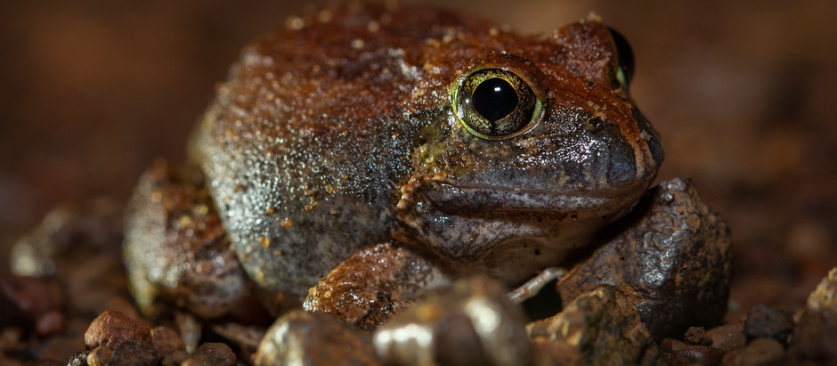 Ornate Burrowing Frog...