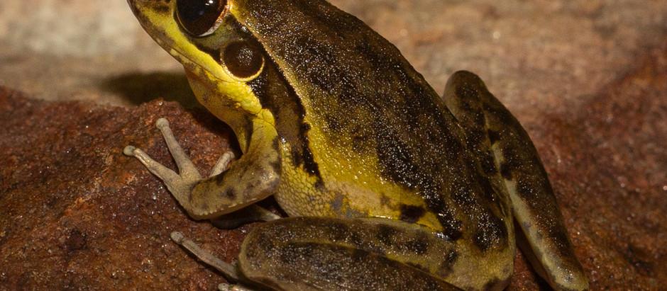 Wotjulum Frog...