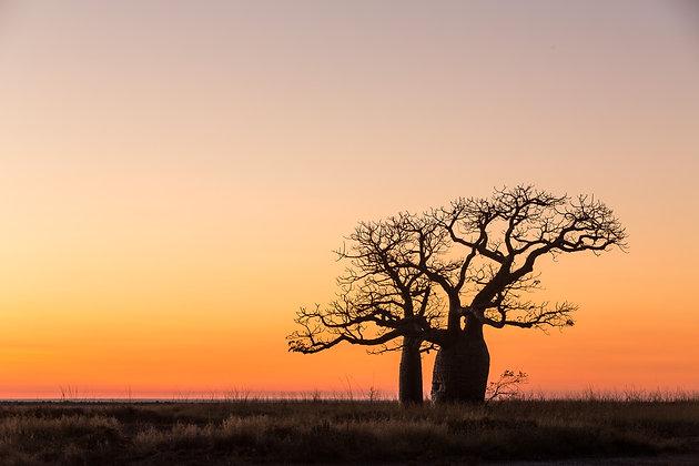 Boab Tree - GA0025