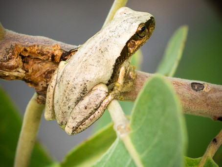 Desert Tree Frog...