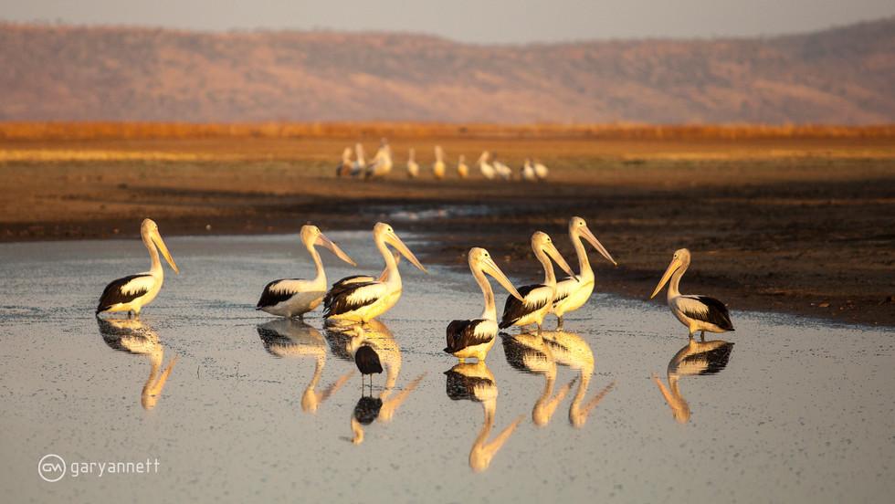 Pelicans-Marlgu-Billabong-Kimberley.jpg