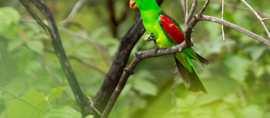 Red-winged Parrot...