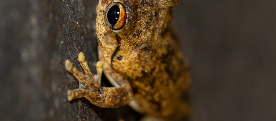 Chattering Rock Frog....