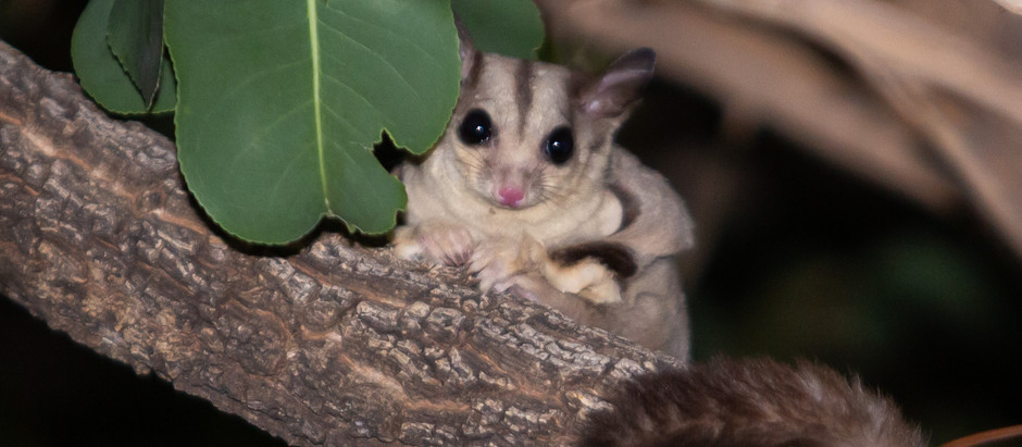 Sugar Glider Goodness...