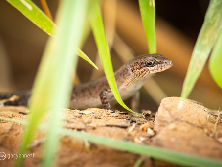 Two-spined Rainbow Skink...