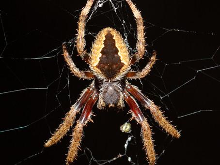 Orb-weaving Spider...