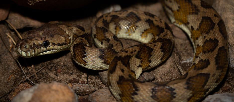 Northwestern Carpet Python...