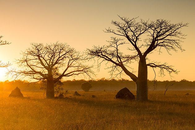 Boab Trees - GA0019