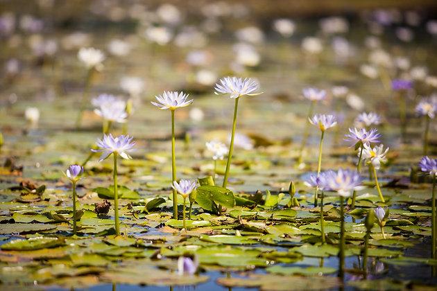 Water Lilies - GA0037