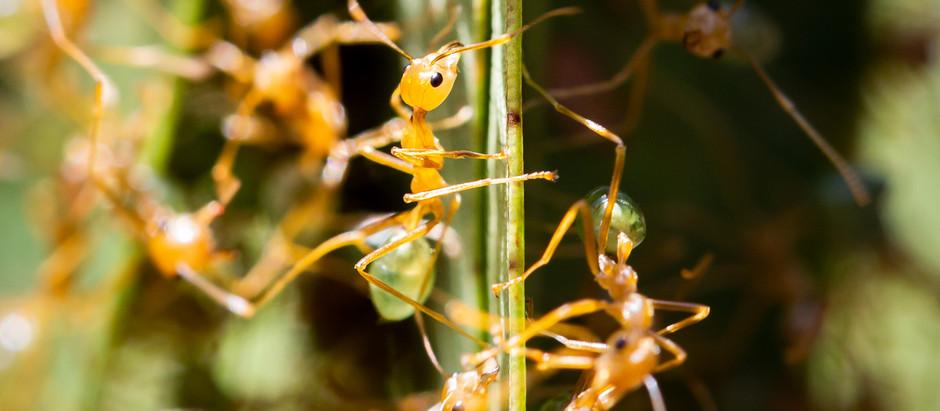 Green Tree Ants...