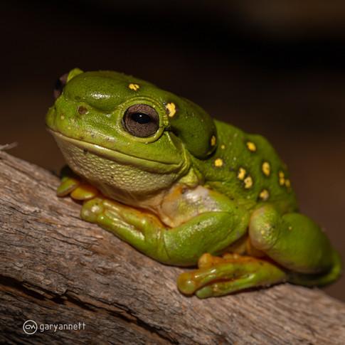 Splendid-Tree-Frog-Kimberley-03.jpg