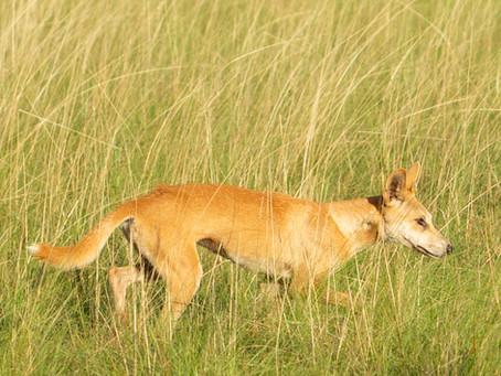 Dingoes...