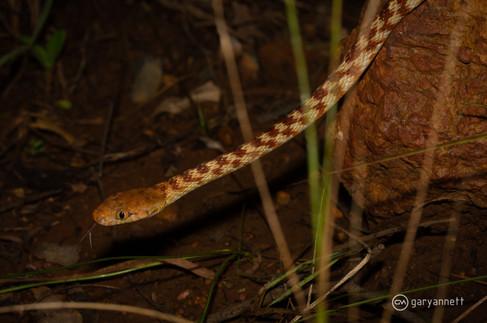 Borwn-Tree-Snake-Boiga-irregularis-Kimbe