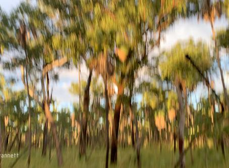 Eucalypts & Palm Trees...