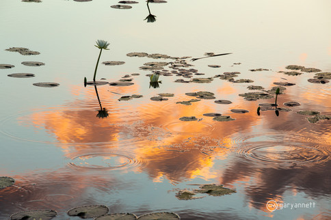 Water-Lilies-Parrys-Lagoon.jpg
