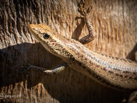 Metallic Snaked-eyed Skink | Pt II...